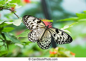 красивая, бабочка