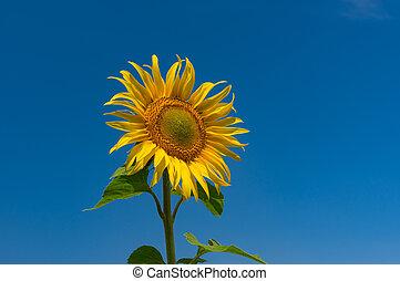 красивая, время, цветение, синий, против, безоблачный, подсолнечник, небо