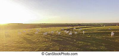 красивая, зеленый, закат солнца, крупный рогатый скот, выгон, grazing