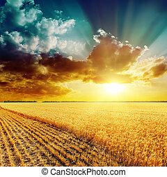 красивая, золотой, над, это, поле, закат солнца, harvesting