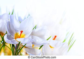 красивая, изобразительное искусство, весна, крокус, задний план, белый, цветы