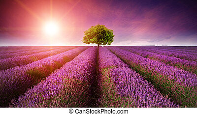 красивая, лето, образ, дерево, лаванда, поле, один, закат солнца, горизонт, санберст, пейзаж