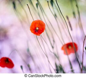 красивая, лето, poppies, blooming