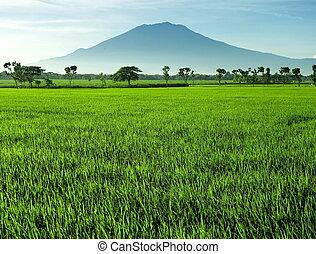 красивая, поле, рис