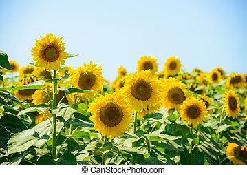 красивая, синий, небо, против, поле, яркий, sunflowers