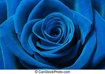 красивая, синий, роза