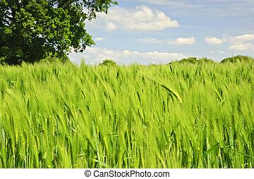 красивая, синий, яркий, дерево, образ, дуб, поле, один, задний план, выращивание, сельскохозяйственное, кукуруза, небо