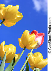 красивая, синий, tulips, небо, против, весна