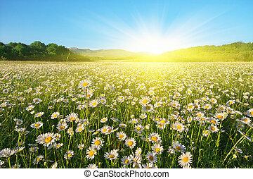 красивая, солнечно, camomile, луг