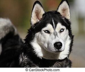 красивая, хриплый, собака, лицо
