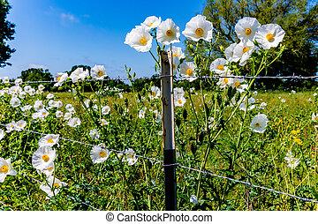 красивая, wildflowers, (argemone, колючий, мак, белый, albiflora), техас