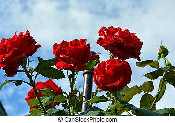 красный, крупный план, небо, роза, куст, clouds., против, белый, синий