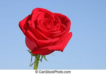 красный, роза