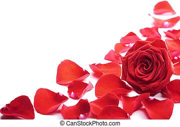 красный, petals, isolated, роза