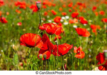 красный, poppies, поля