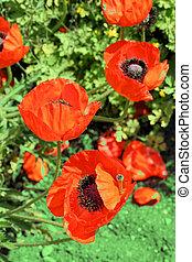 красный, poppies