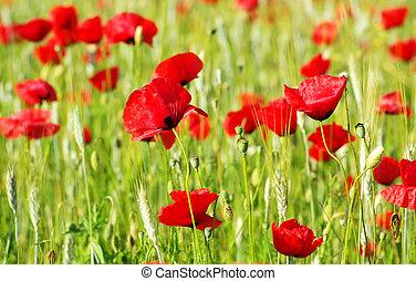 красный, poppys