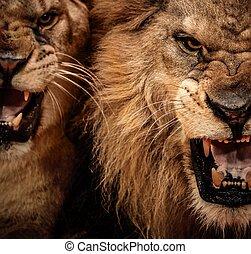 крупный план, запал, выстрел, два, лев