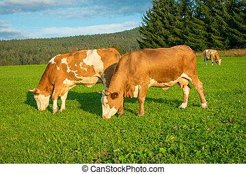крупный рогатый скот, выгон