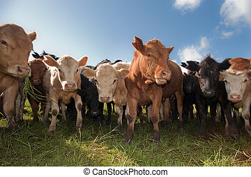 крупный рогатый скот, пасти