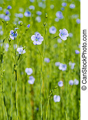 крупным планом, весна, поле, мелкий, синий, глубина, лен