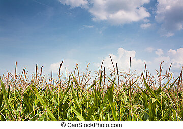 кукуруза, копья, небо, против, лето