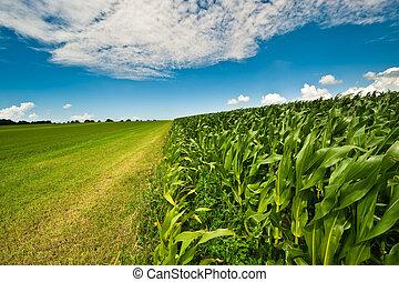 кукуруза, лето, сельхозугодий