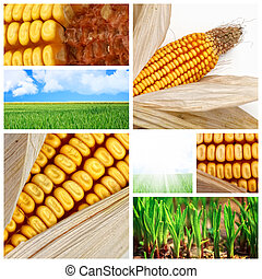 кукуруза, сельское хозяйство, задний план