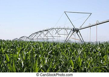 кукуруза, irrigated
