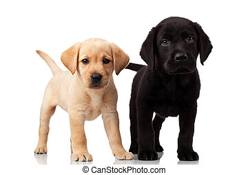 лабрадор, милый, два, puppies