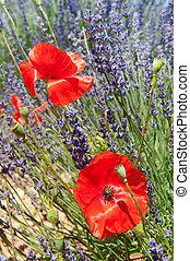 лаванда, красный, poppies