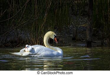 лебедь, немой, cygnus, olor, мама, детка