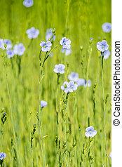 лен, мелкий, весна, синий, поле, крупным планом, глубина