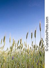 лето, пшеница, поле
