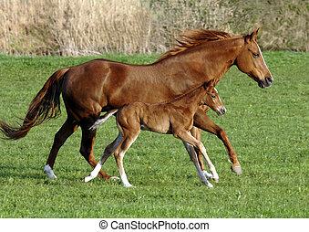лошадь, жеребенок