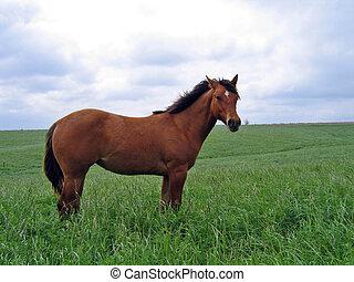 лошадь, четверть, кобылица