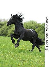 лошадь, friesian, черный, runninng, пастьба