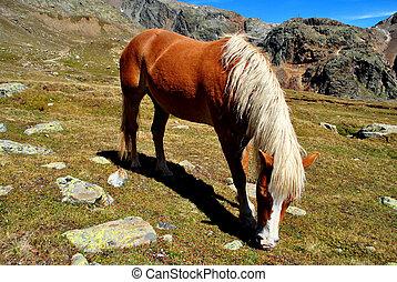 лошадь, haflinger
