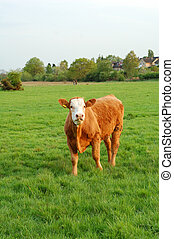 луг, корова