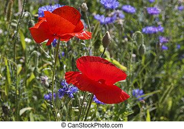 луг, красный, poppies