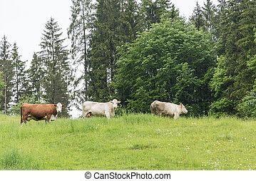 луг, -, cows, крупный рогатый скот, выгон