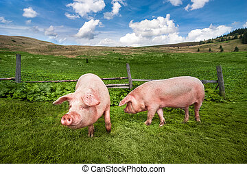 луг, mountains, pigs, пастьба, лето, милый, под, grazing