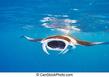 луч, подводный, плавающий, манта