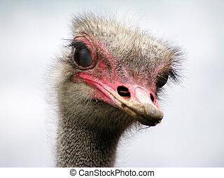 любопытный, страус
