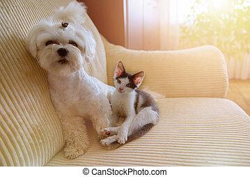 маленький, собака, котенок, немного, мальтийский