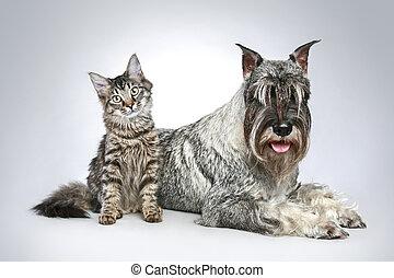 маленький, собака, котенок, шнауцер, разводить, mittel