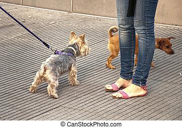 маленький, собака, ходить