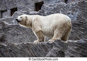 медведь, полярный