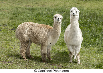 милый, два, pasture., alpacas