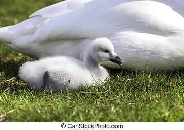 милый, лебедь, cygnet., лебедь, necked, черный, детка